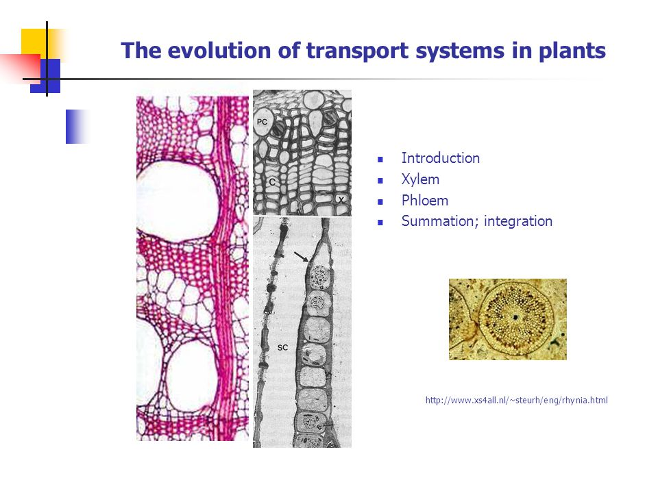 The evolution of transport systems in plants Introduction Xylem Phloem Summation; integration http://www.xs4all.nl/~steurh/eng/rhynia.html