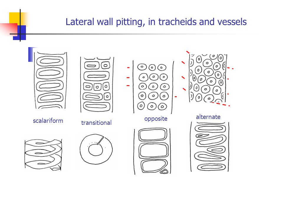 Lateral wall pitting, in tracheids and vessels scalariform transitional opposite alternate