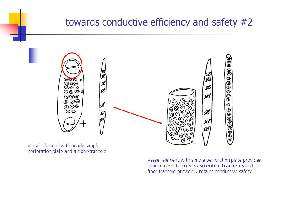 towards conductive efficiency and safety #2 vessel element with nearly simple perforation plate and a fiber-tracheid Vessel element with simple perfor