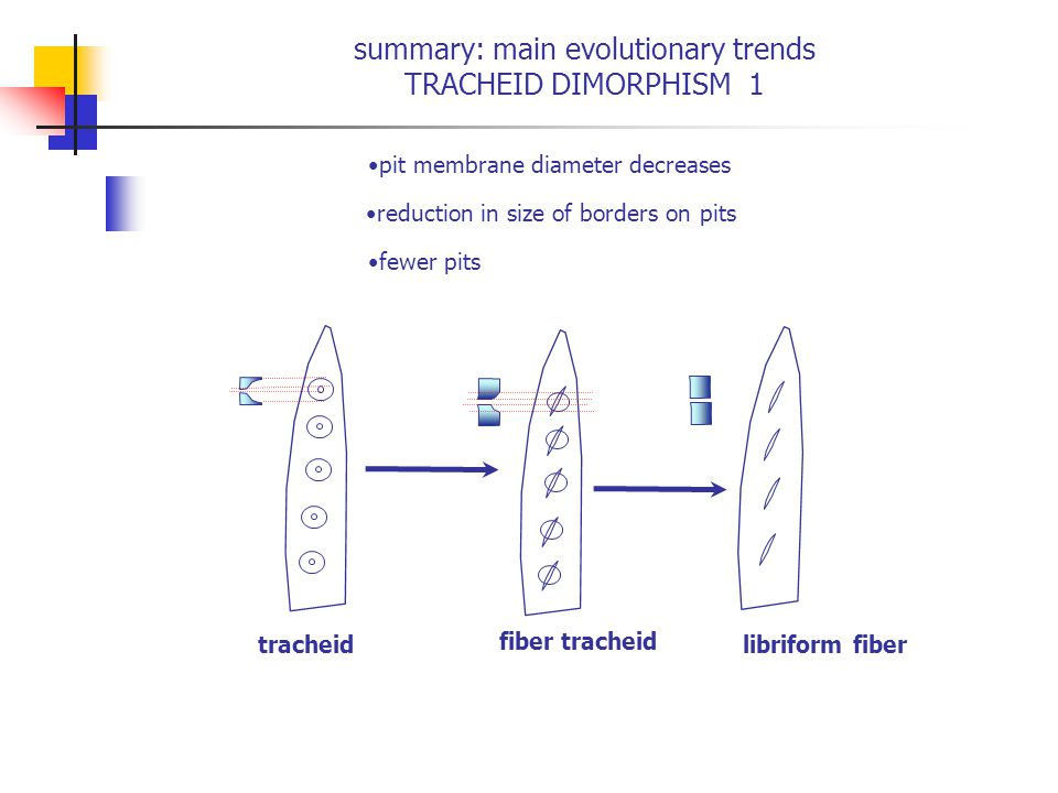 summary: main evolutionary trends TRACHEID DIMORPHISM 1 pit membrane diameter decreases reduction in size of borders on pits fewer pits tracheid fiber