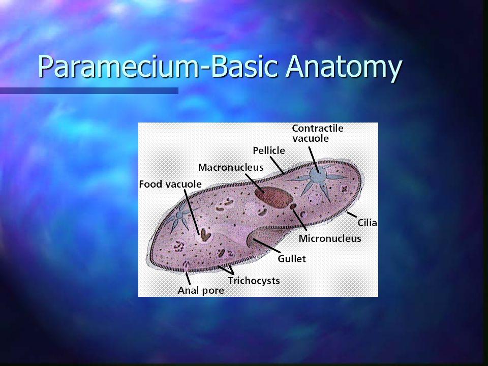Paramecium-Basic Anatomy