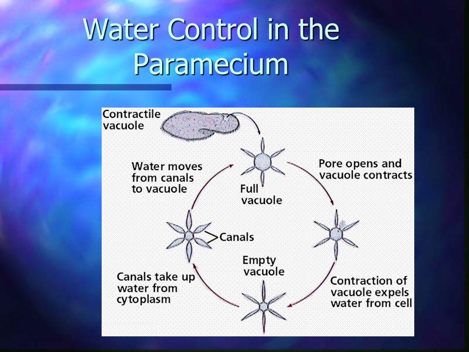 Water Control in the Paramecium