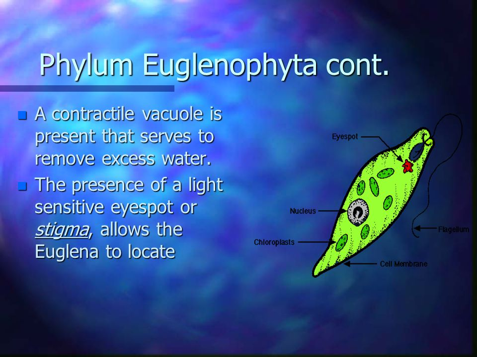 Phylum Euglenophyta cont. n A contractile vacuole is present that serves to remove excess water.