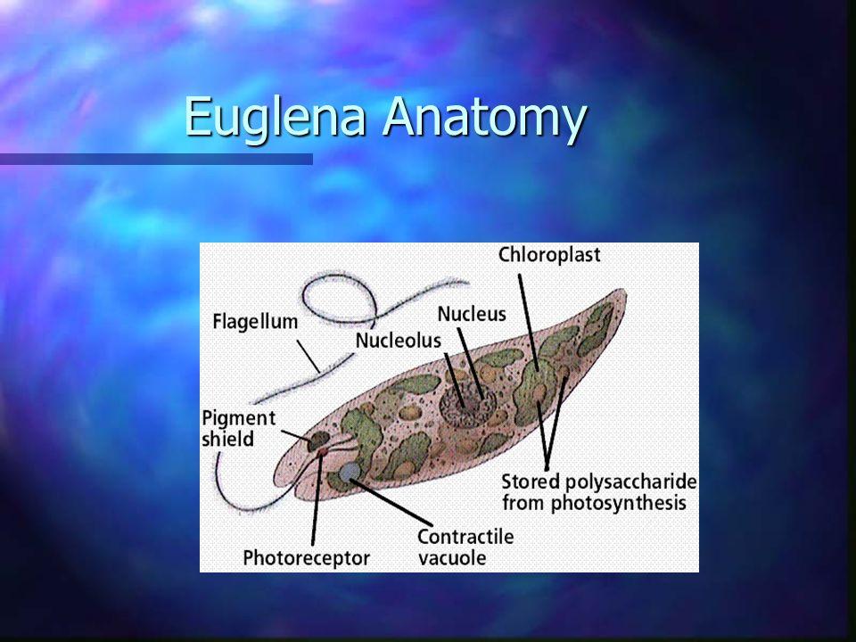 Euglena Anatomy