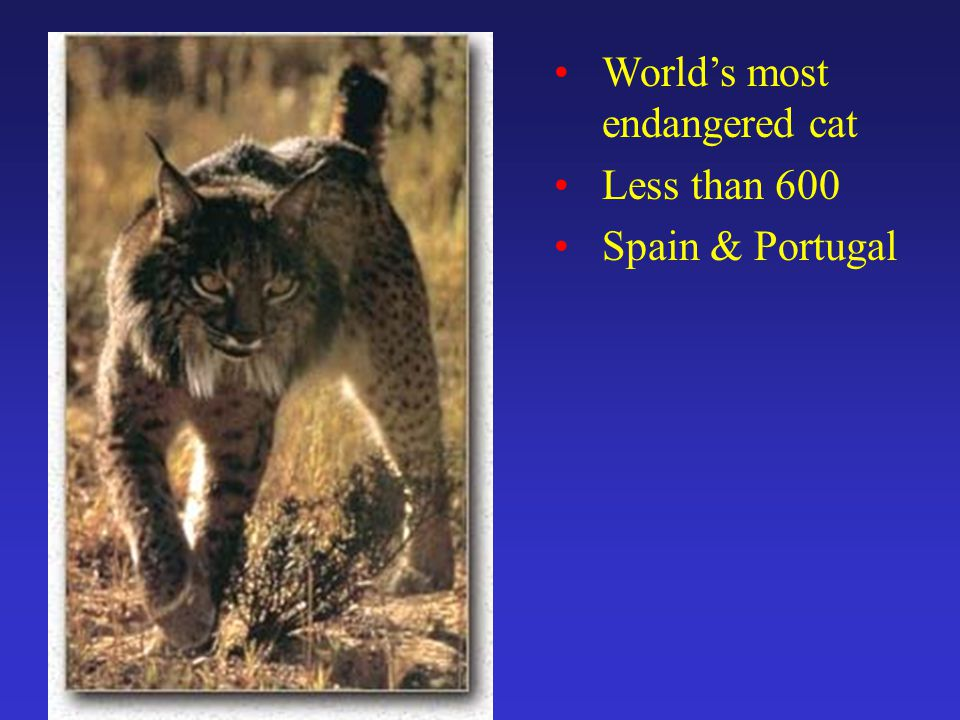 World's most endangered cat Less than 600 Spain & Portugal