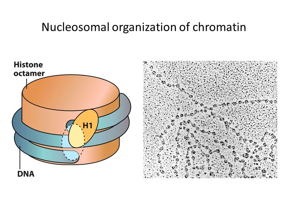 Nucleosomal organization of chromatin