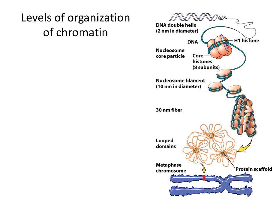 Levels of organization of chromatin