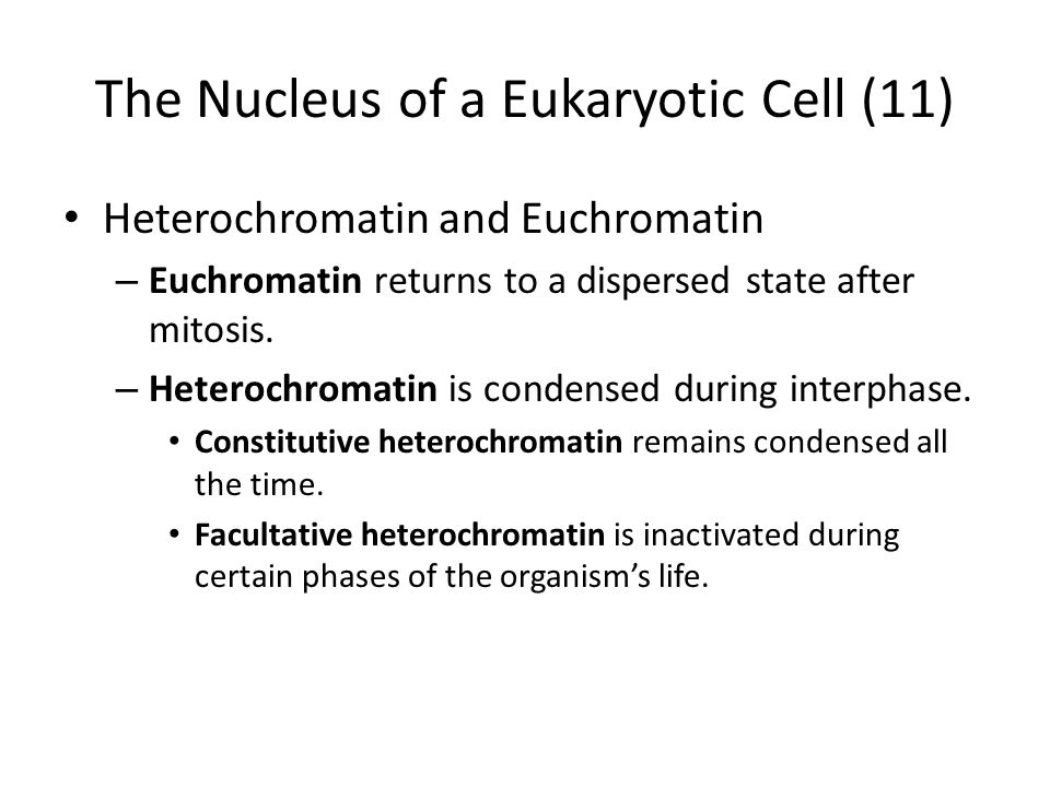 The Nucleus of a Eukaryotic Cell (11) Heterochromatin and Euchromatin – Euchromatin returns to a dispersed state after mitosis. – Heterochromatin is c