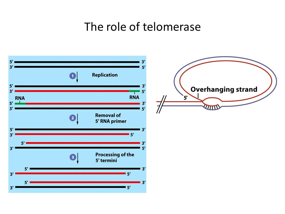 The role of telomerase
