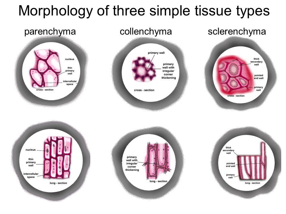 collenchymaparenchymasclerenchyma Morphology of three simple tissue types