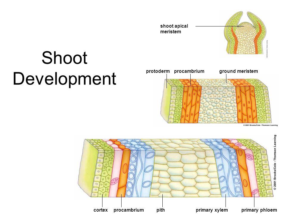 Shoot Development ground meristem primary xylempithprocambriumcortex procambriumprotoderm shoot apical meristem primary phloem