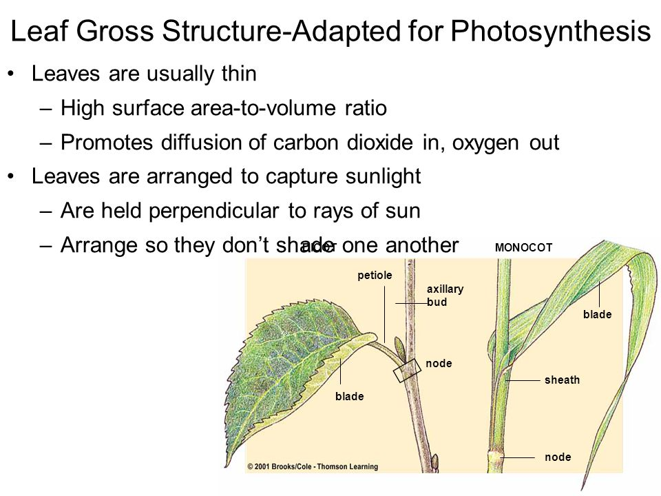 Leaf Gross Structure-Adapted for Photosynthesis petiole blade axillary bud node blade sheath node DICOTMONOCOT Leaves are usually thin –High surface area-to-volume ratio –Promotes diffusion of carbon dioxide in, oxygen out Leaves are arranged to capture sunlight –Are held perpendicular to rays of sun –Arrange so they don't shade one another