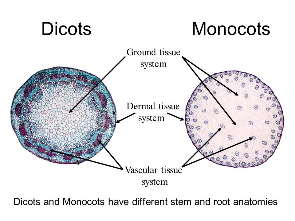 Dicots Dicots and Monocots have different stem and root anatomies Ground tissue system Vascular tissue system Dermal tissue system Monocots