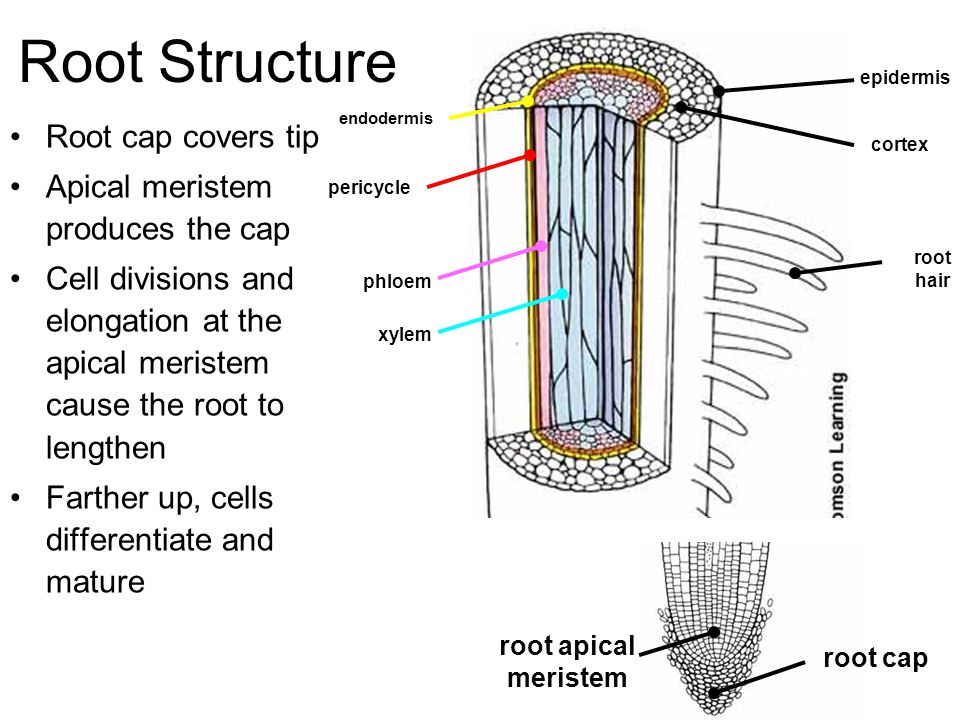 Root Structure Root cap covers tip Apical meristem produces the cap Cell divisions and elongation at the apical meristem cause the root to lengthen Farther up, cells differentiate and mature root apical meristem root cap pericycle phloem xylem root hair endodermis epidermis cortex