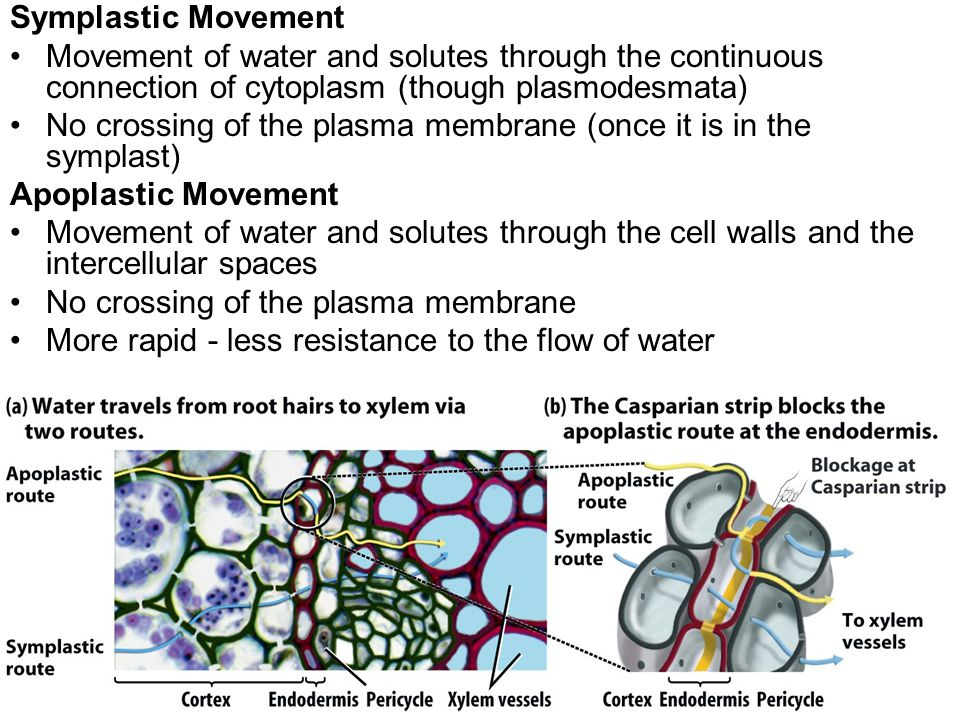 Symplastic Movement Movement of water and solutes through the continuous connection of cytoplasm (though plasmodesmata) No crossing of the plasma membrane (once it is in the symplast) Apoplastic Movement Movement of water and solutes through the cell walls and the intercellular spaces No crossing of the plasma membrane More rapid - less resistance to the flow of water