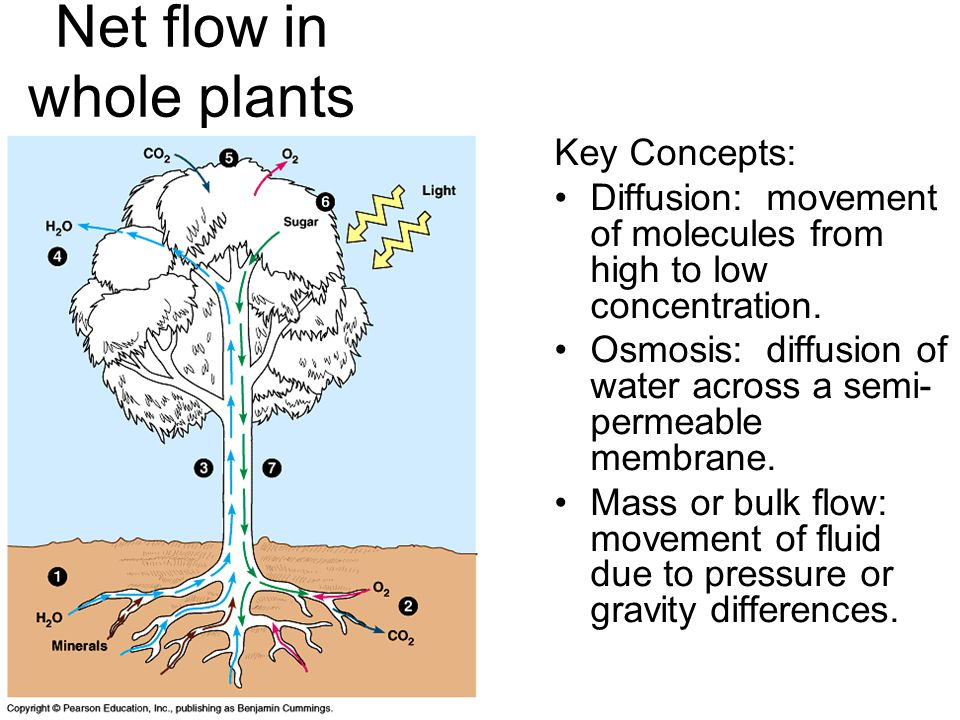 Net flow in whole plants Key Concepts: Diffusion: movement of molecules from high to low concentration.