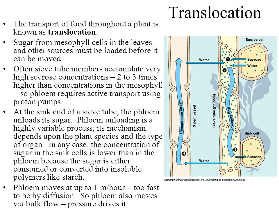 Translocation The transport of food throughout a plant is known as translocation.