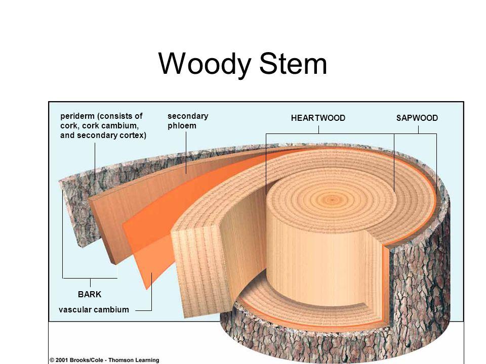 Woody Stem periderm (consists of cork, cork cambium, and secondary cortex) secondary phloem BARK HEARTWOODSAPWOOD vascular cambium
