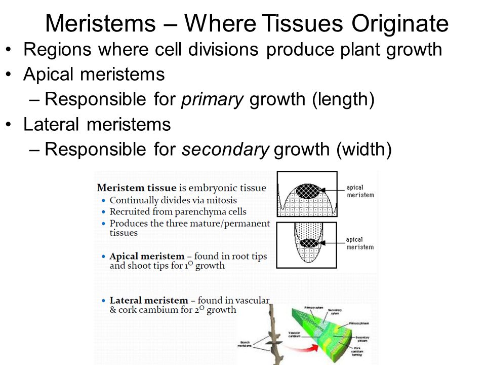 Meristems – Where Tissues Originate Regions where cell divisions produce plant growth Apical meristems –Responsible for primary growth (length) Lateral meristems –Responsible for secondary growth (width)