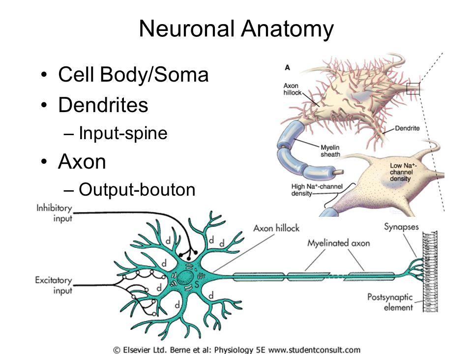Neuronal Anatomy Cell Body/Soma Dendrites –Input-spine Axon –Output-bouton