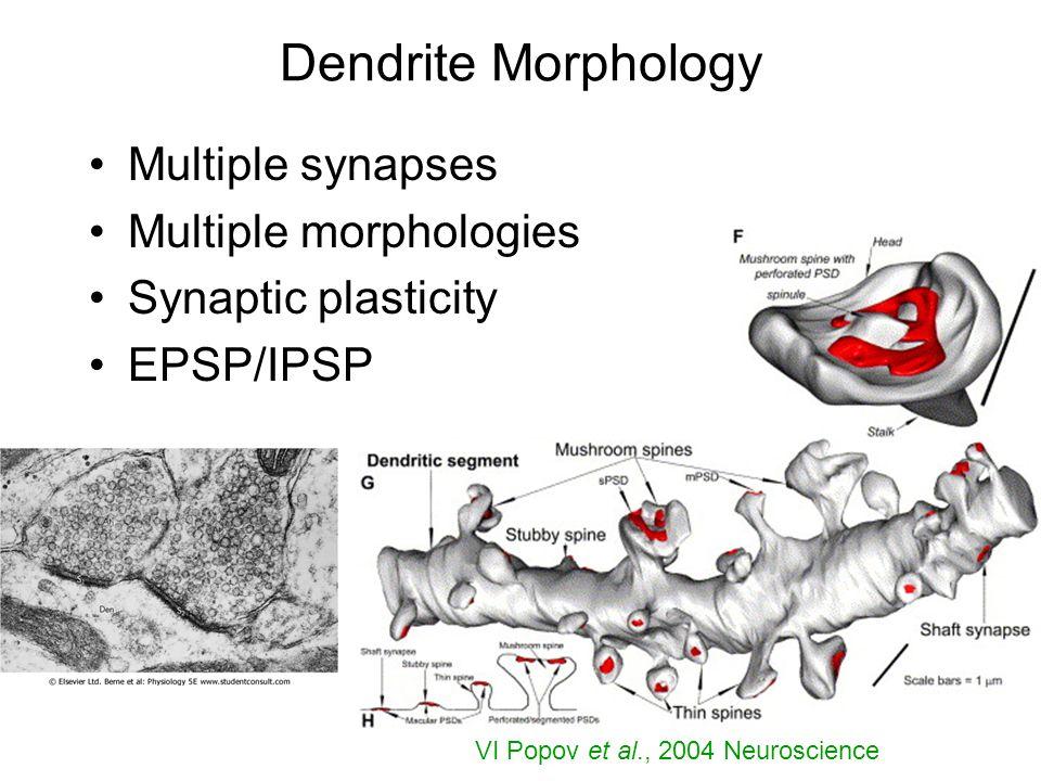 Dendrite Morphology Multiple synapses Multiple morphologies Synaptic plasticity EPSP/IPSP VI Popov et al., 2004 Neuroscience