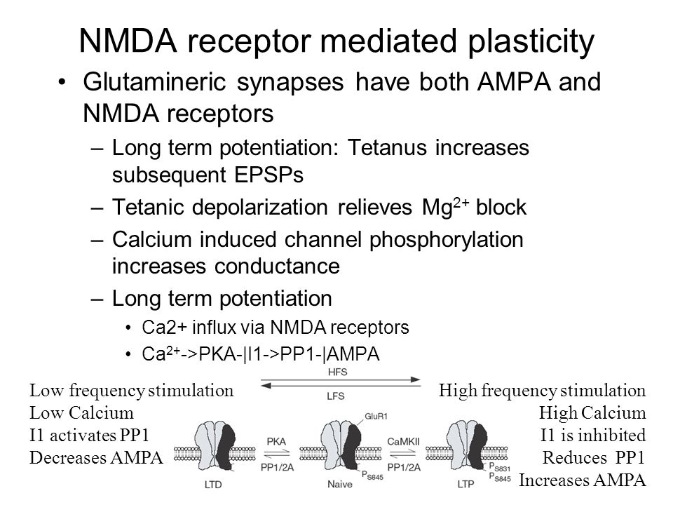 NMDA receptor mediated plasticity Glutamineric synapses have both AMPA and NMDA receptors –Long term potentiation: Tetanus increases subsequent EPSPs –Tetanic depolarization relieves Mg 2+ block –Calcium induced channel phosphorylation increases conductance –Long term potentiation Ca2+ influx via NMDA receptors Ca 2+ ->PKA-|I1->PP1-|AMPA Low frequency stimulation Low Calcium I1 activates PP1 Decreases AMPA High frequency stimulation High Calcium I1 is inhibited Reduces PP1 Increases AMPA