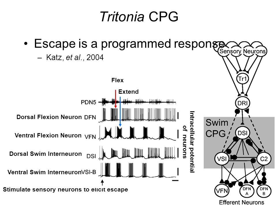 Tritonia CPG Escape is a programmed response –Katz, et al., 2004 Stimulate sensory neurons to elicit escape Dorsal Swim Interneuron Ventral Swim Interneuron Ventral Flexion Neuron Dorsal Flexion Neuron Flex Extend Intracellular potential of neurons