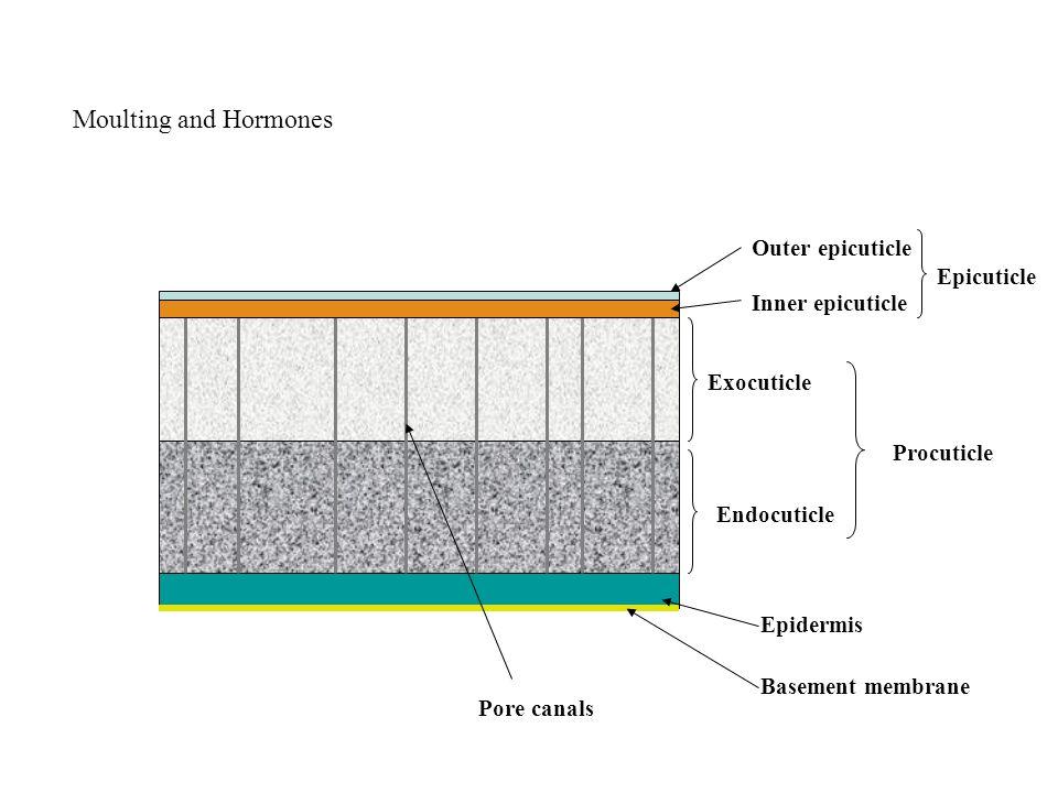 Outer epicuticle Inner epicuticle Epicuticle Exocuticle Endocuticle Epidermis Basement membrane Pore canals Procuticle Moulting and Hormones