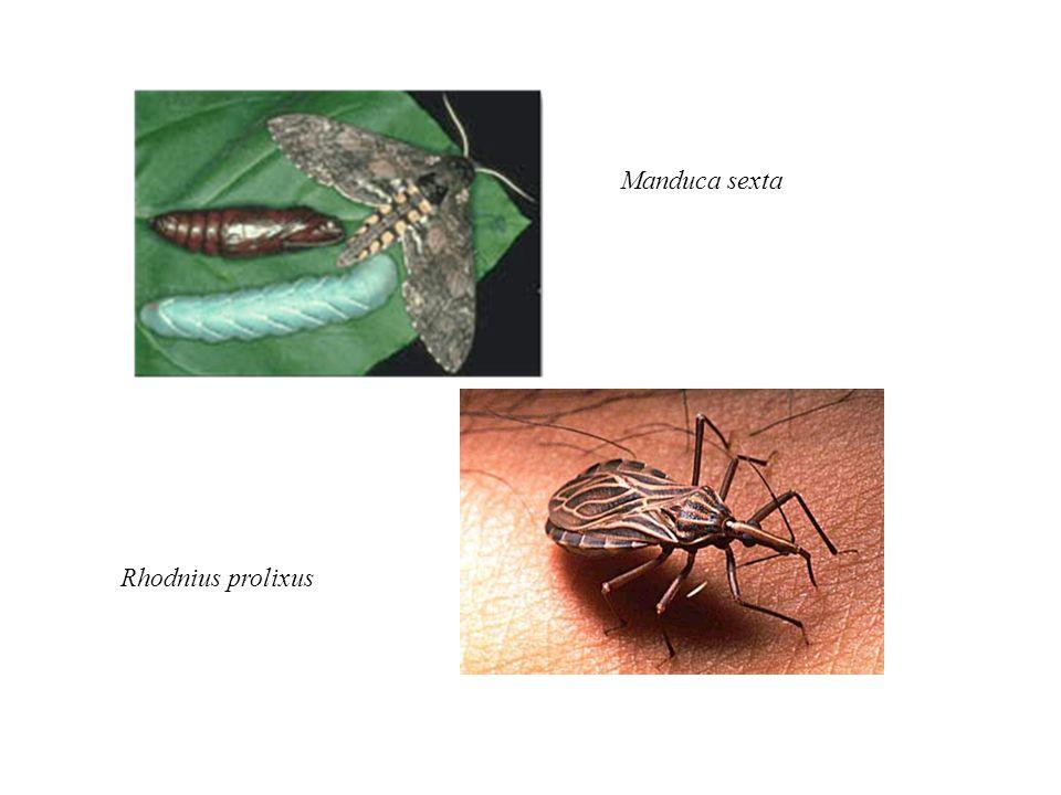 Manduca sexta Rhodnius prolixus
