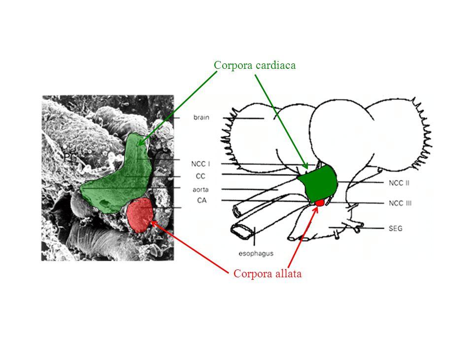 Corpora cardiaca Corpora allata