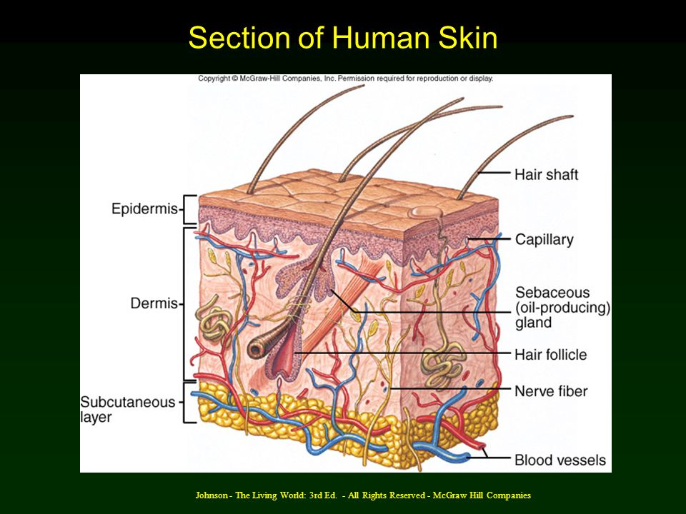 Johnson - The Living World: 3rd Ed. - All Rights Reserved - McGraw Hill Companies Section of Human Skin
