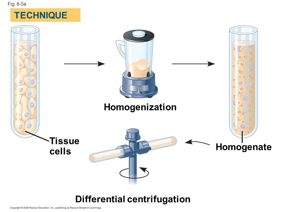 Fig. 6-5a Homogenization Homogenate Differential centrifugation Tissue cells TECHNIQUE