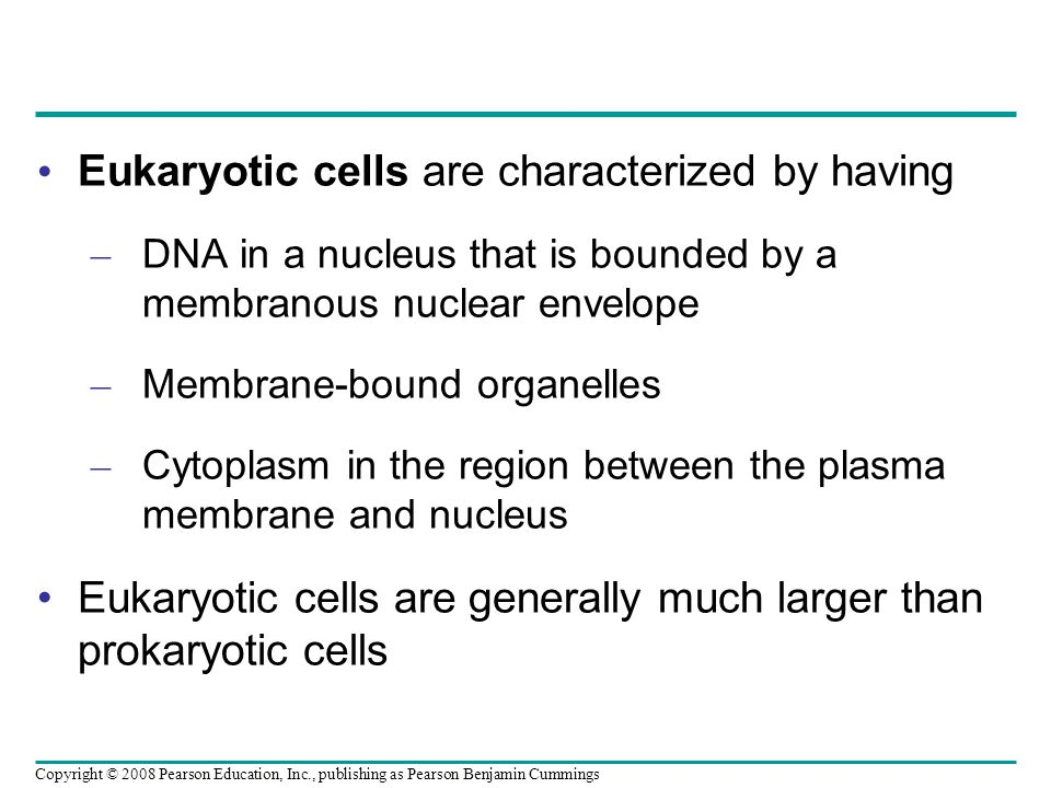 Eukaryotic cells are characterized by having – DNA in a nucleus that is bounded by a membranous nuclear envelope – Membrane-bound organelles – Cytoplasm in the region between the plasma membrane and nucleus Eukaryotic cells are generally much larger than prokaryotic cells Copyright © 2008 Pearson Education, Inc., publishing as Pearson Benjamin Cummings