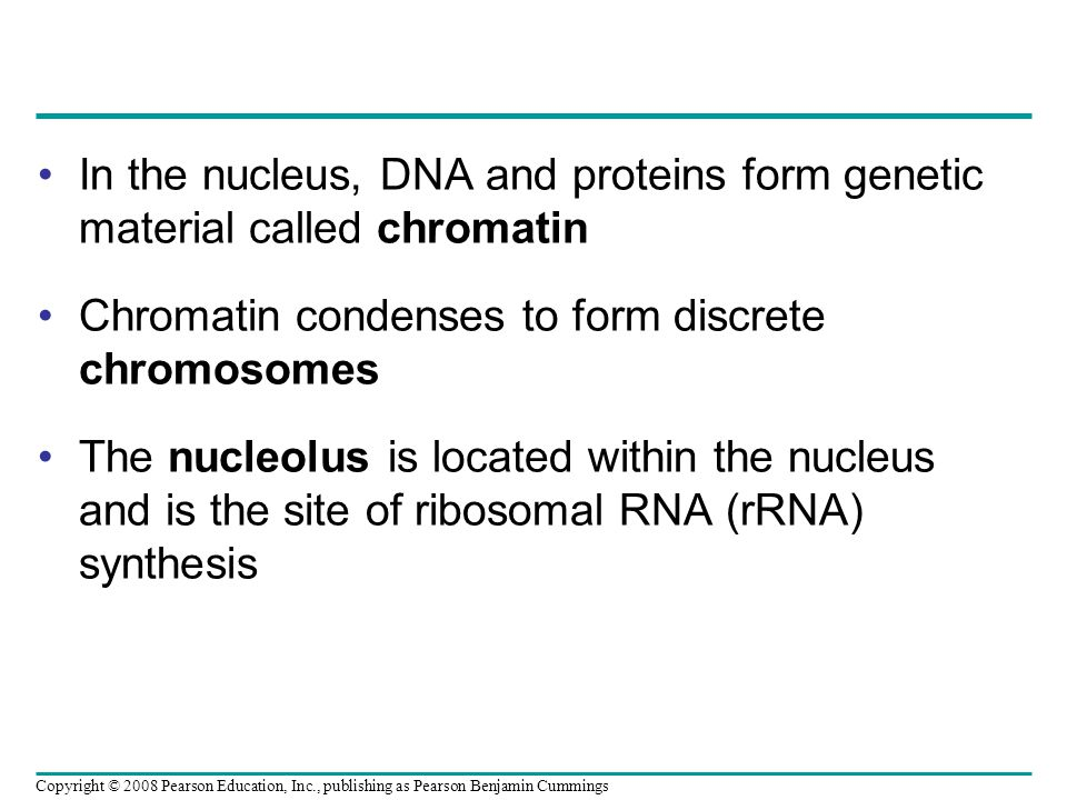 In the nucleus, DNA and proteins form genetic material called chromatin Chromatin condenses to form discrete chromosomes The nucleolus is located within the nucleus and is the site of ribosomal RNA (rRNA) synthesis Copyright © 2008 Pearson Education, Inc., publishing as Pearson Benjamin Cummings