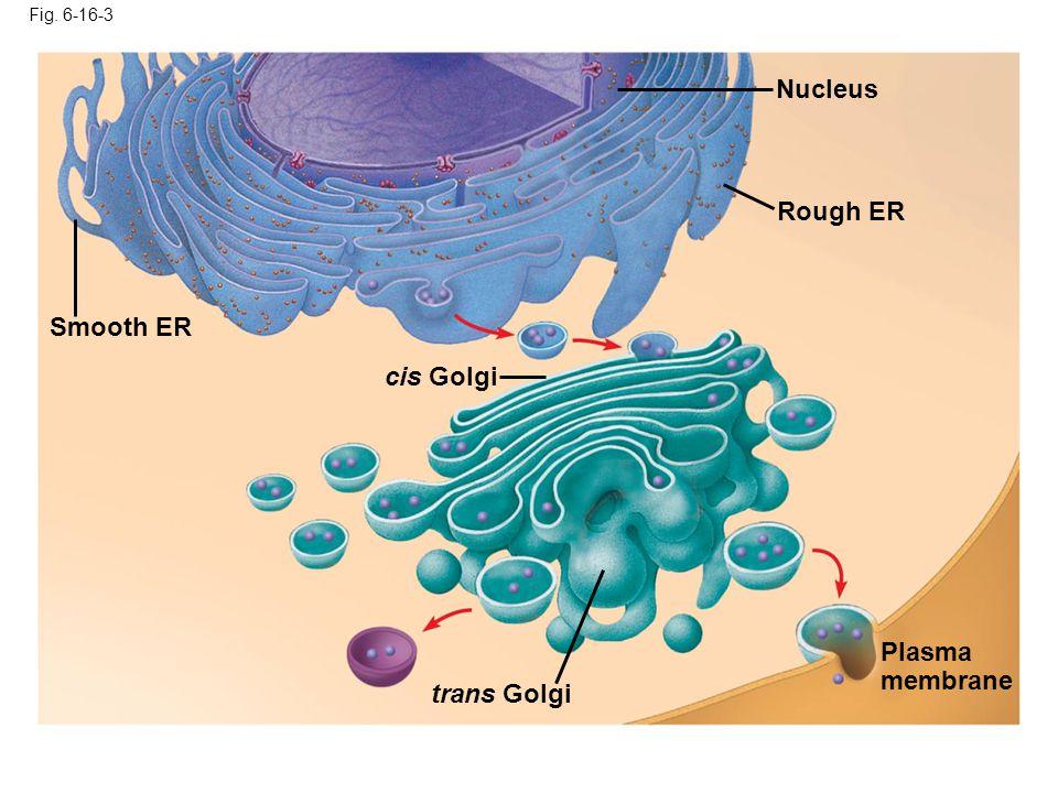 Fig. 6-16-3 Smooth ER Nucleus Rough ER Plasma membrane cis Golgi trans Golgi