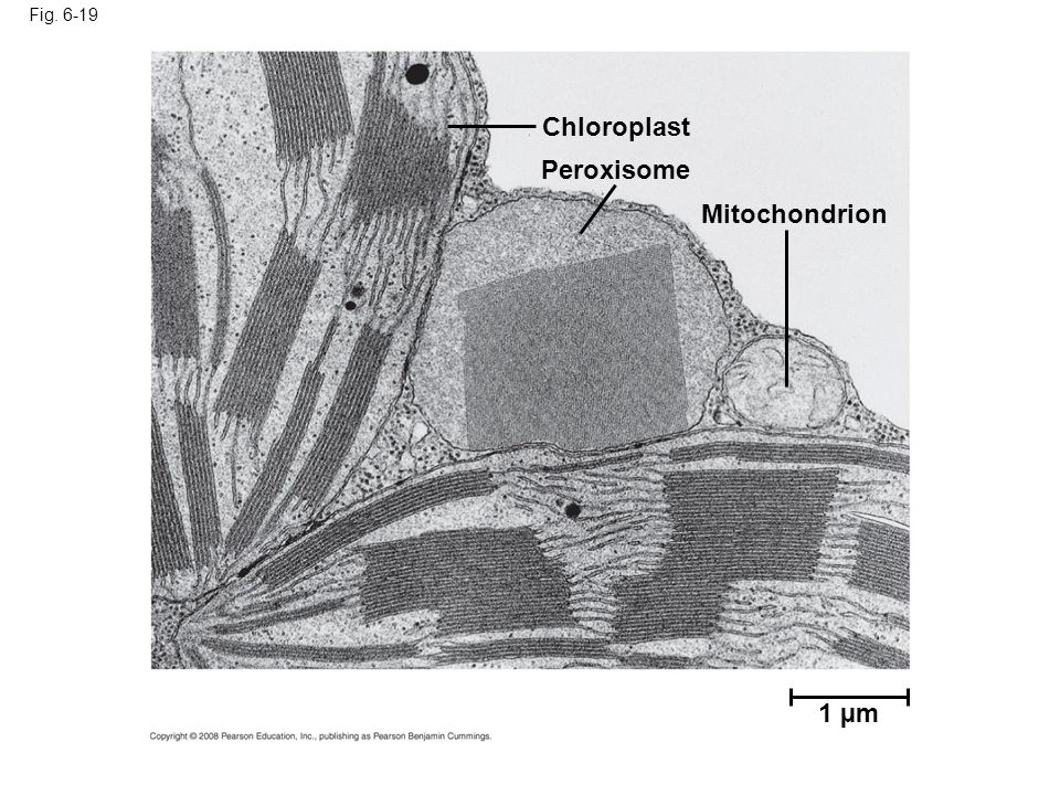 Fig. 6-19 1 µm Chloroplast Peroxisome Mitochondrion