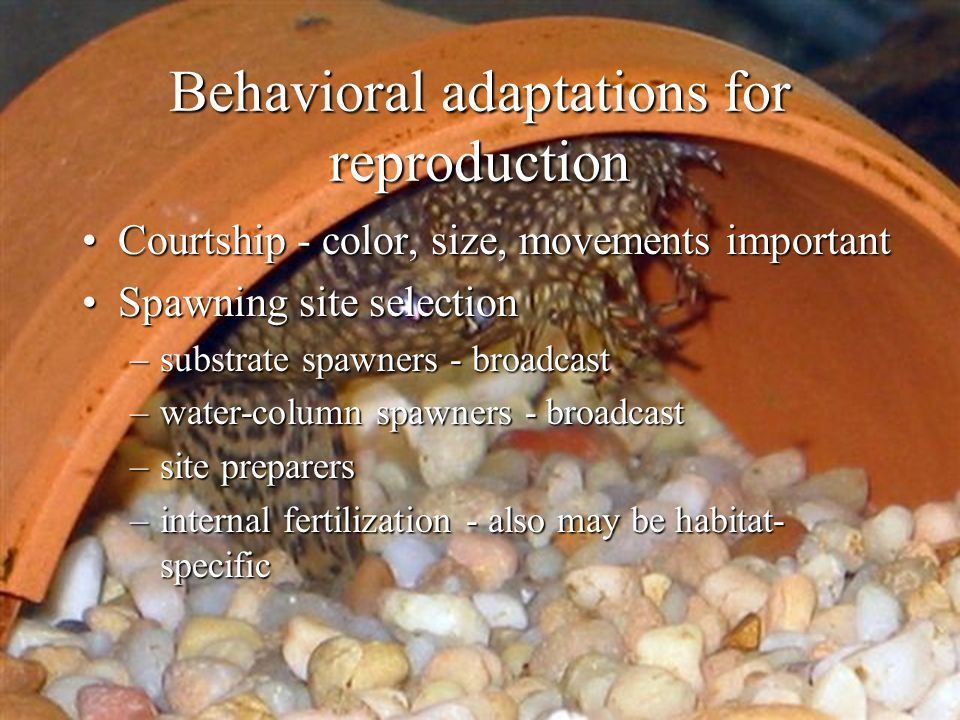 Behavioral adaptations for reproduction Courtship - color, size, movements importantCourtship - color, size, movements important Spawning site selecti