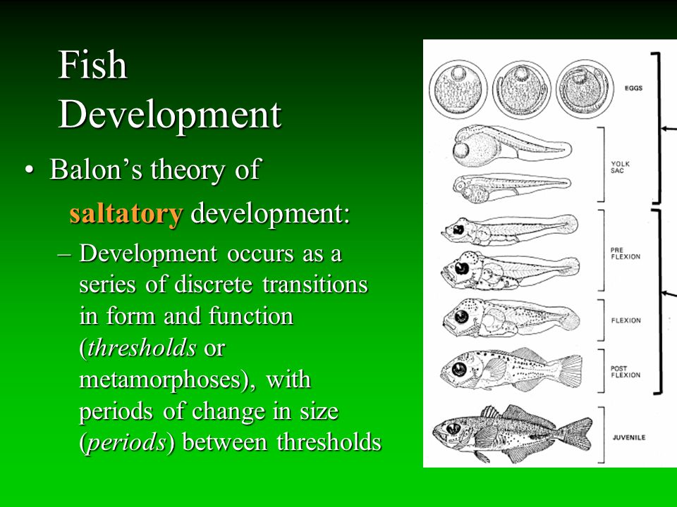 Fish Development Balon's theory ofBalon's theory of saltatory development: saltatory development: –Development occurs as a series of discrete transiti