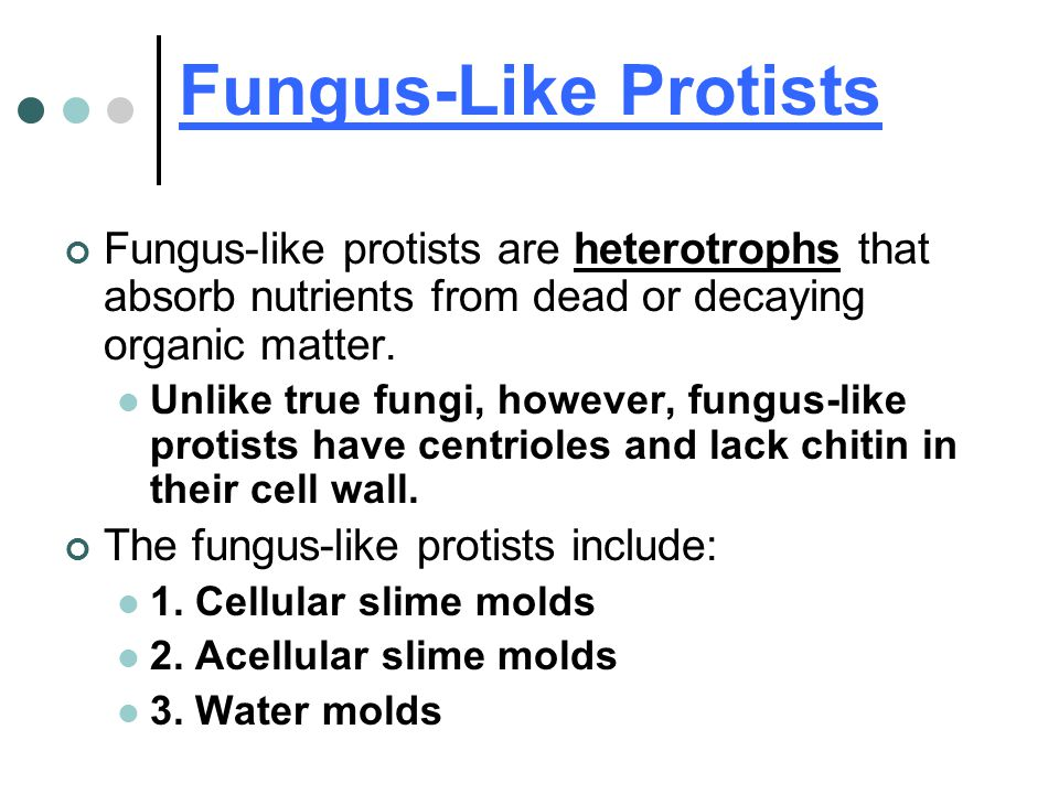 Fungus-Like Protists Fungus-like protists are heterotrophs that absorb nutrients from dead or decaying organic matter.