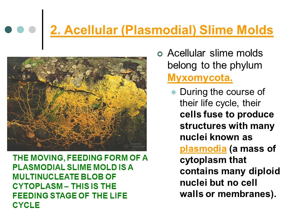 2. Acellular (Plasmodial) Slime Molds Acellular slime molds belong to the phylum Myxomycota.