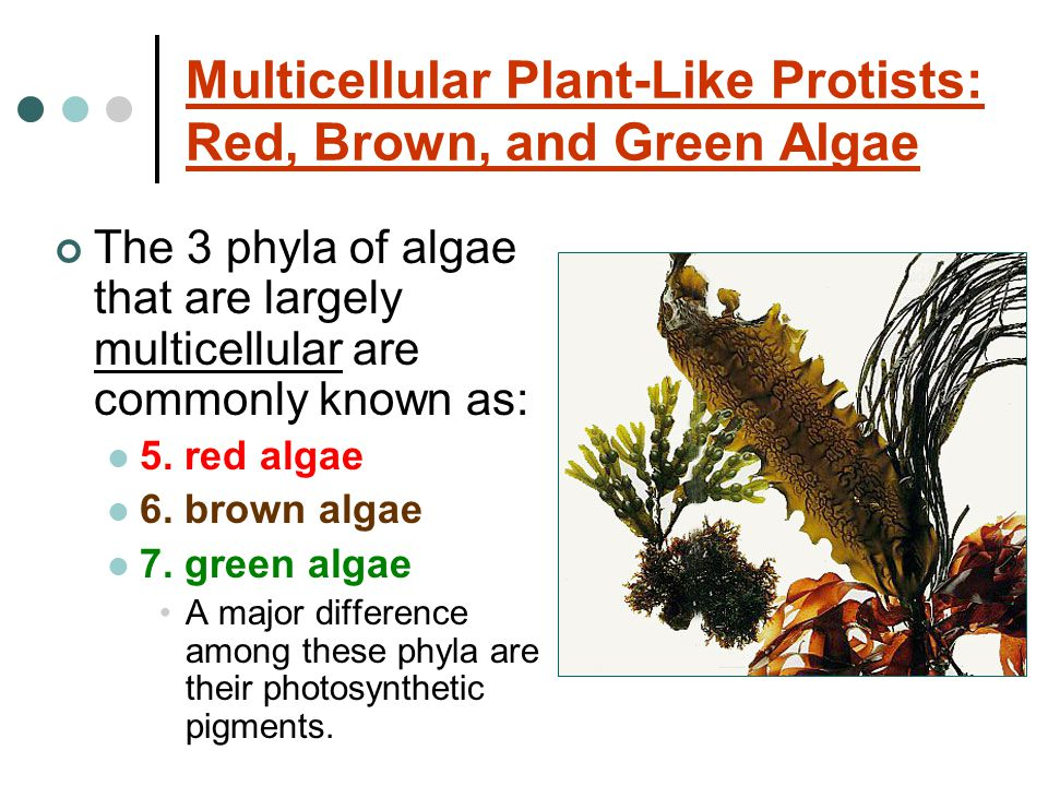 Multicellular Plant-Like Protists: Red, Brown, and Green Algae The 3 phyla of algae that are largely multicellular are commonly known as: 5.