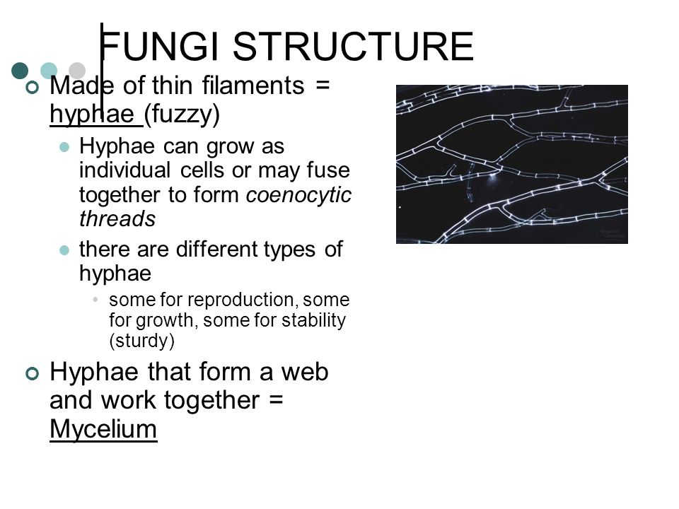 FUNGI STRUCTURE Made of thin filaments = hyphae (fuzzy) Hyphae can grow as individual cells or may fuse together to form coenocytic threads there are different types of hyphae some for reproduction, some for growth, some for stability (sturdy) Hyphae that form a web and work together = Mycelium