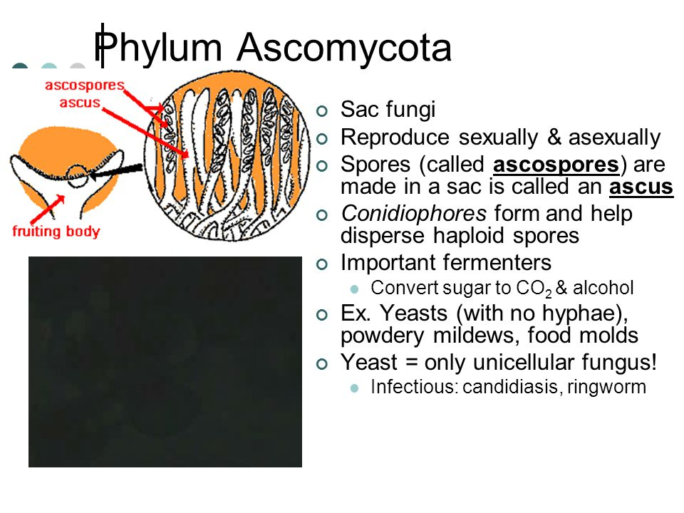 Phylum Ascomycota Sac fungi Reproduce sexually & asexually Spores (called ascospores) are made in a sac is called an ascus Conidiophores form and help disperse haploid spores Important fermenters Convert sugar to CO 2 & alcohol Ex.