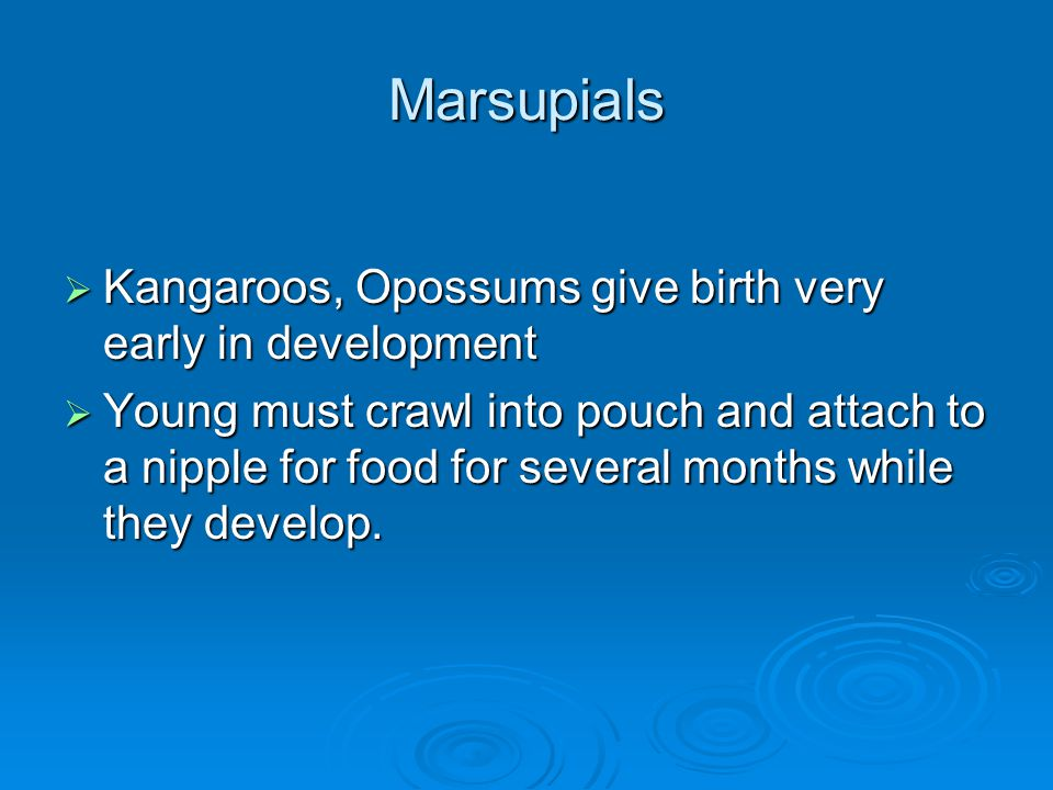 Marsupials  Kangaroos, Opossums give birth very early in development  Young must crawl into pouch and attach to a nipple for food for several months while they develop.
