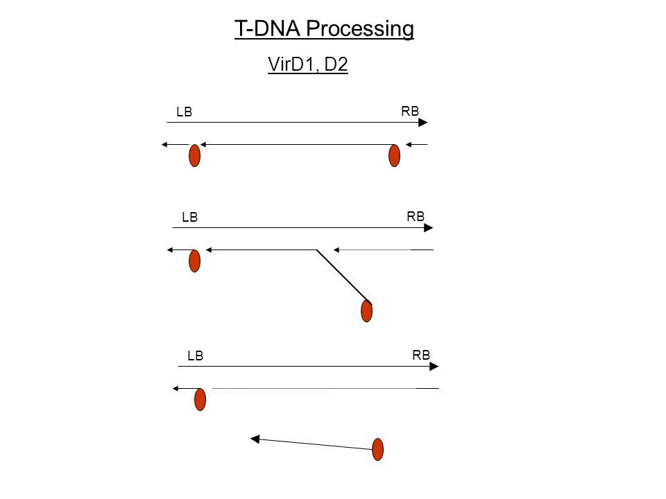 T-DNA Processing VirD1, D2 LB RB LB RB LB RB