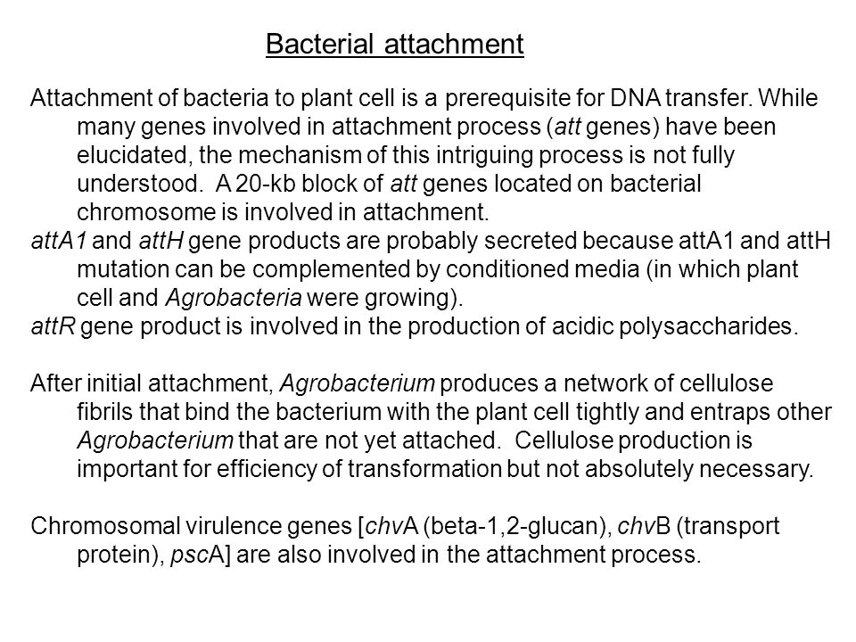 Attachment of bacteria to plant cell is a prerequisite for DNA transfer. While many genes involved in attachment process (att genes) have been elucida