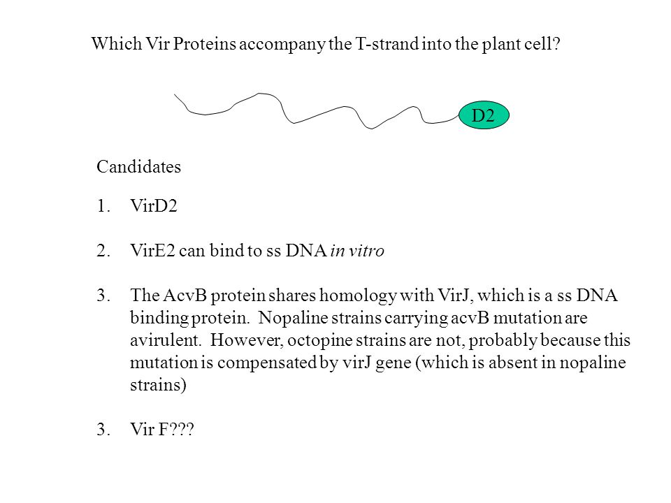 Which Vir Proteins accompany the T-strand into the plant cell? D2 1.VirD2 2.VirE2 can bind to ss DNA in vitro 3.The AcvB protein shares homology with