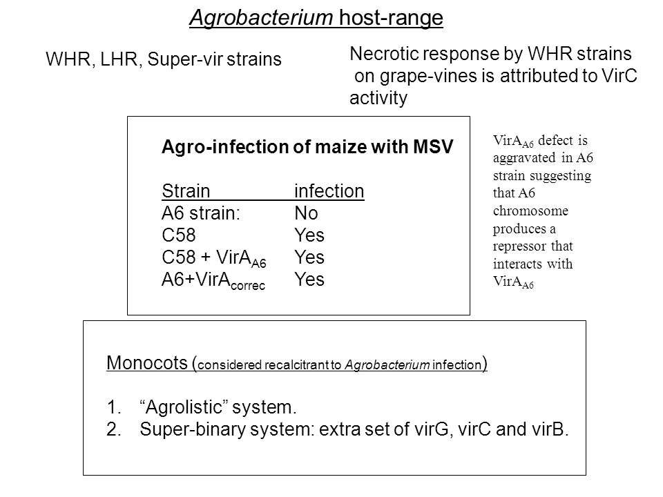 Agrobacterium host-range WHR, LHR, Super-vir strains Agro-infection of maize with MSV Straininfection A6 strain:No C58Yes C58 + VirA A6 Yes A6+VirA co