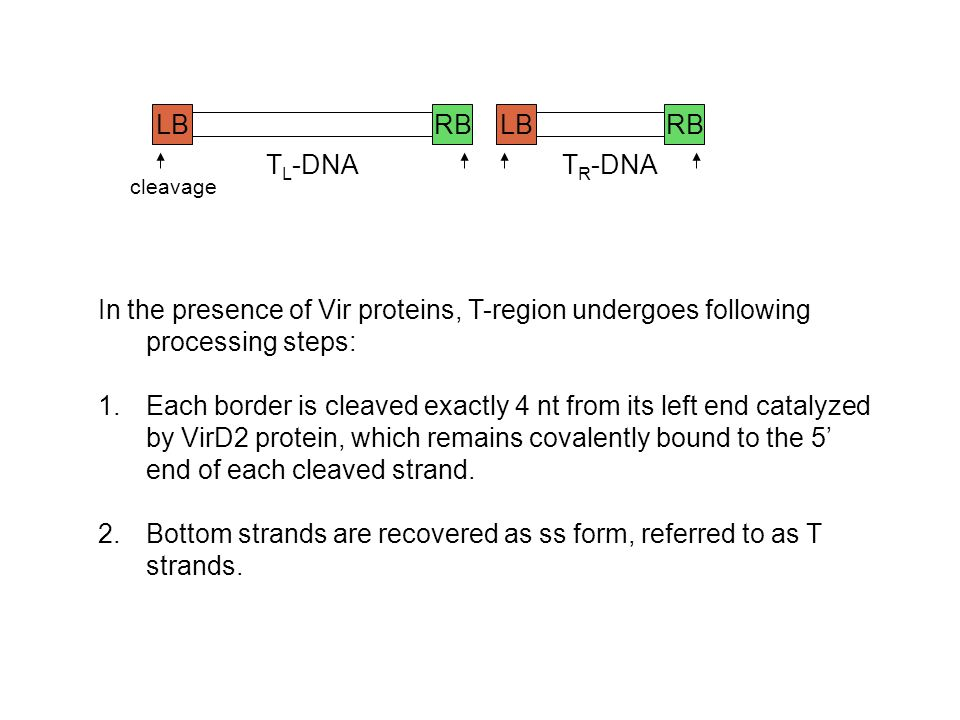 LBRBLBRB T L -DNAT R -DNA In the presence of Vir proteins, T-region undergoes following processing steps: 1.Each border is cleaved exactly 4 nt from i