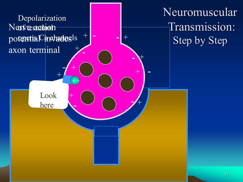 10 Neuromuscular Transmission Skeletal Muscle Myelin Axon Axon Terminal